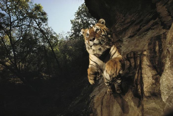 1996年,印度班达迦国家公园(Bandhavgarh National Park)内的相机陷阱拍到一只名为Charger的老虎。 PHOTOGRAPH BY