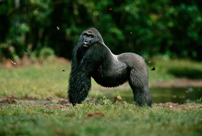 2000年,刚果共和国奥扎拉国家公园(Odzala National Park)里的西部低地大猩猩。 PHOTOGRAPH BY MICHAEL NICHOLS