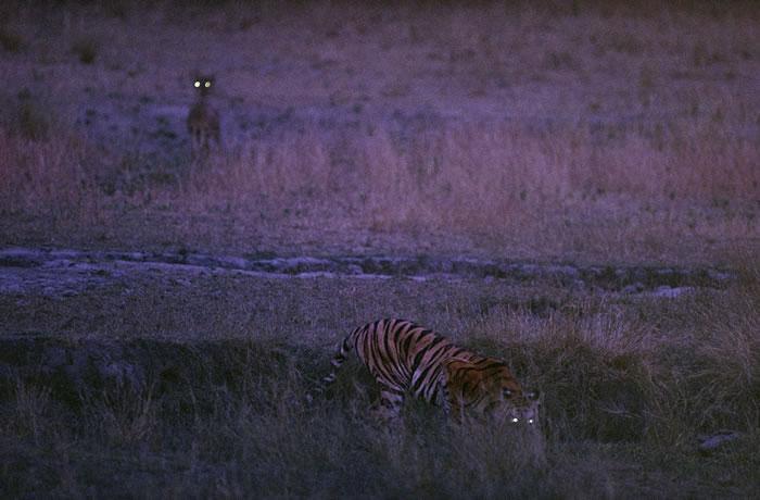 1996年,印度班达迦国家公园(Bandhavgarh National Park)中的老虎Bachhi与鹿。 PHOTOGRAPH BY MICHAEL NI