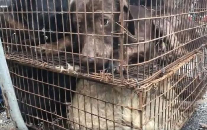 有些狗狗是偷来的,其中还有各种品种的狗儿,而它们待在笼子里等着被宰杀。