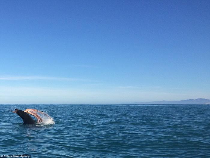 新西兰凯库拉海岸发生海洋生物激战 海豹怒将章鱼脚扯断