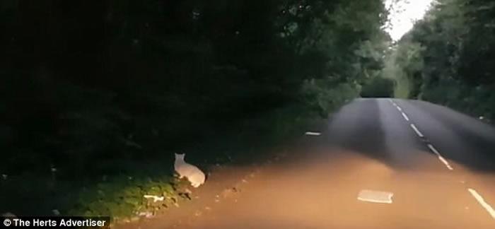 英国赫特福德郡圣奥尔本斯居民凌晨拍到神秘巨猫 当地发现遭猛兽肢解的鹿尸体