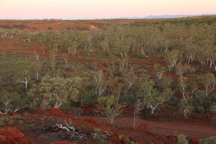 西澳大利亚皮尔布拉地区的一个小套桉(Eucalyptus victrix)森林。