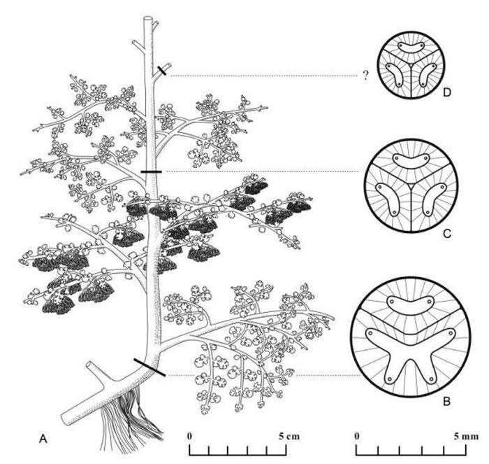 守刚蕨的形态学复原以及不同部分的解剖结构图