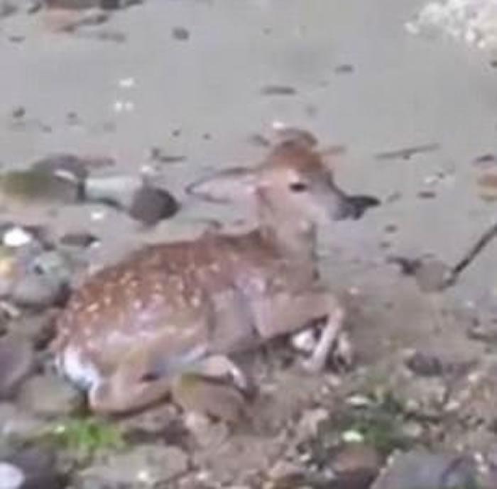 美国小狗突然跳进海里游走 数分钟后救起受伤小鹿
