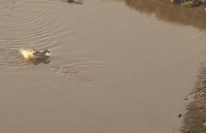 肯尼亚野生动物保护区斑马渡河逃出鳄鱼口 转眼却成狮子大餐