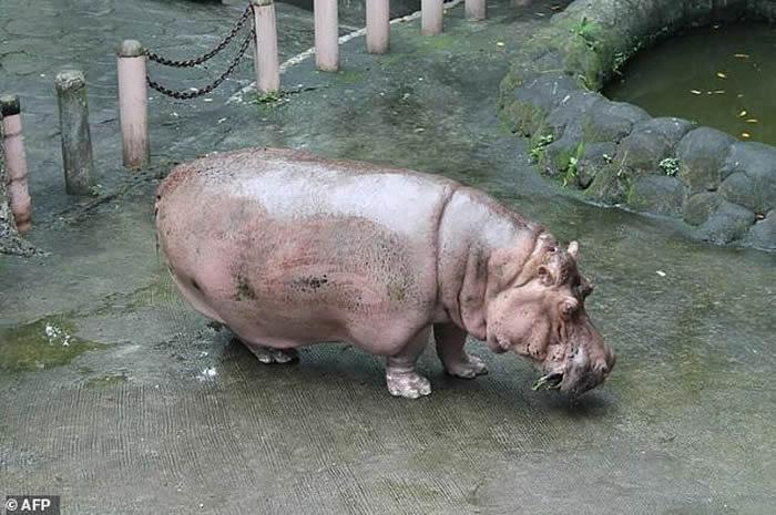 全球最年长的河马在菲律宾马尼拉动物园去世 终年65岁