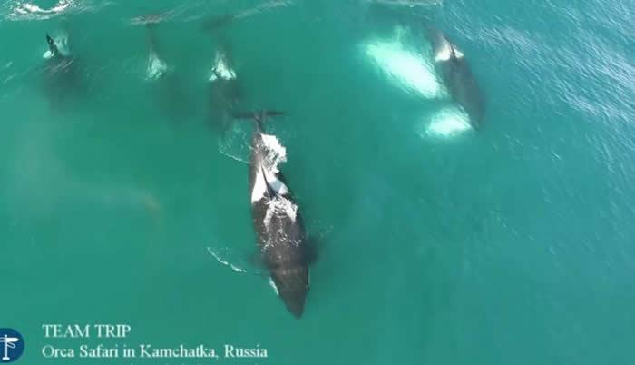 俄罗斯堪察加半岛附近海域杀人鲸围捕猎杀12米长鲸鱼