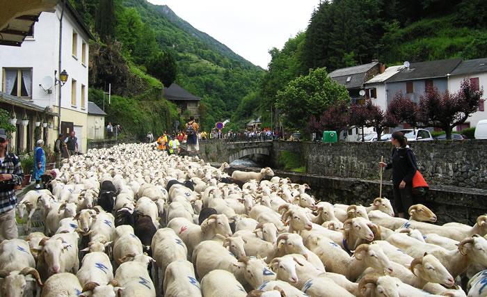 法国庇里牛斯山区209头绵羊集体跳崖 动物专家怀疑为躲避棕熊追捕