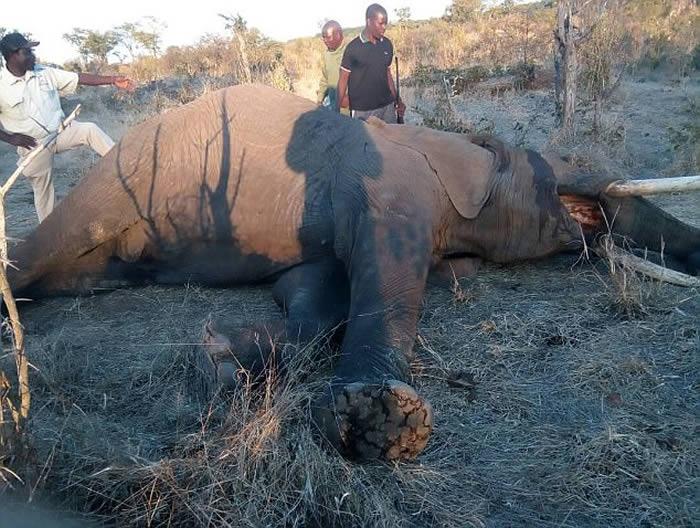 愤怒的大象邦吉(Mbanje)被其他同事们枪杀处决