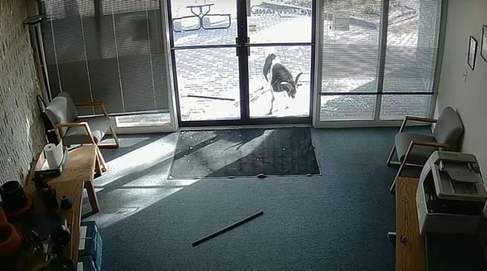 美国科罗拉多州一只成年大山羊为何用它的角撞碎玻璃门