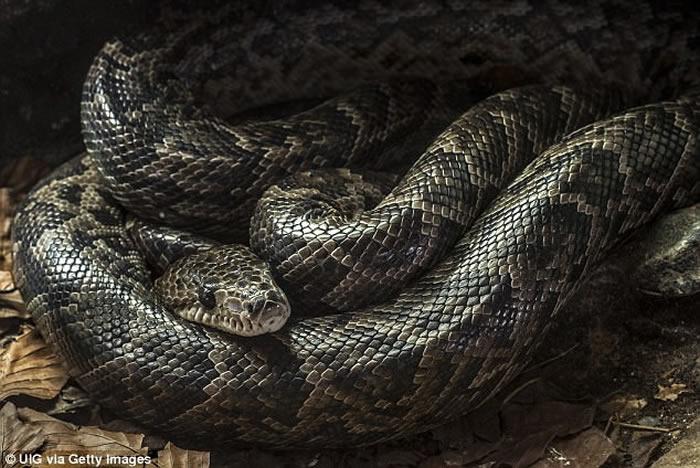 美国俄亥俄州女子报案称自己惨遭大蟒蛇缠脸咬鼻