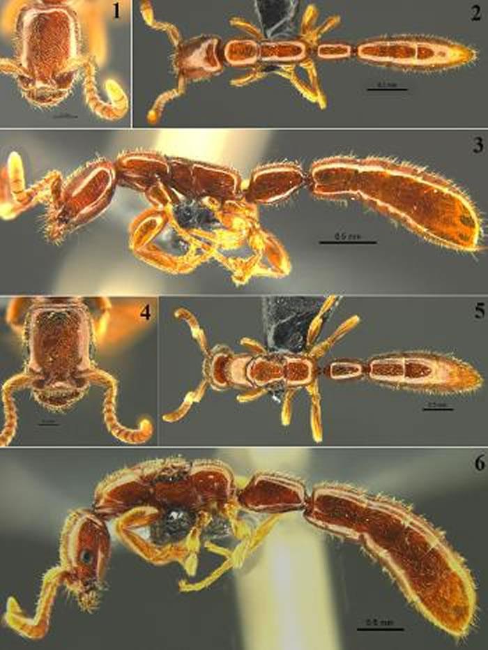 """广西花坪国家级自然保护区发现珍稀古老蚂蚁物种""""雄王声猛蚁"""""""