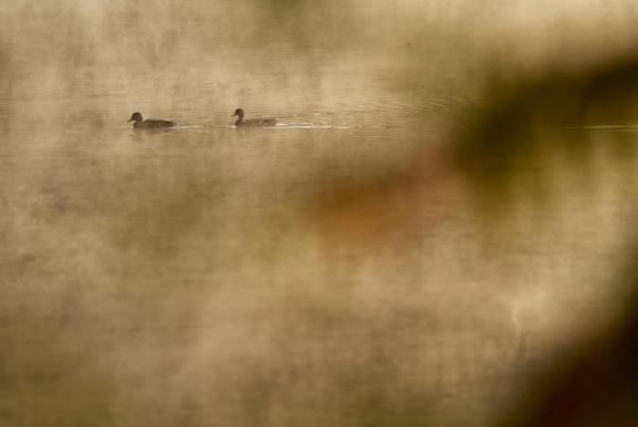 绿头鸭游过瓦尔登湖水面。 PHOTOGRAPH BY TIM LAMAN