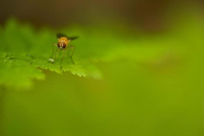 一只苍蝇停留在蕨叶上。 PHOTOGRAPH BY TIM LAMAN