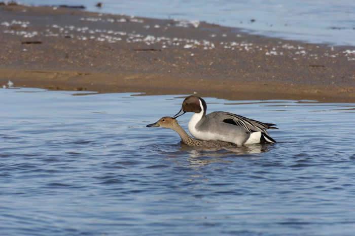 鸭子交配可能暴力破表,但雌鸭自有办法避免生下暴力雄鸭的后代。 PHOTOGRAPH BY MICHAEL FORSBERG, NATIONAL GEOGRAPH
