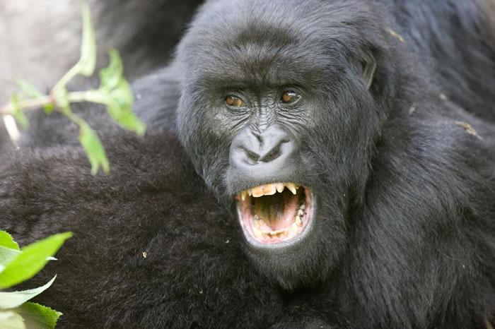 大部分雄性灵长类都有大犬齿,但人类则不然──可能是因为人类女性不觉得犬齿有魅力。 PHOTOGRAPH BY MICHAEL POLIZA, NATIONAL