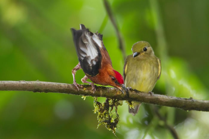 一只梅花翅娇鹟( club-winged manakin )用翅膀发出悦耳声响,以吸引雌鸟。 PHOTOGRAPH BY TIM LAMAN, NATIONAL