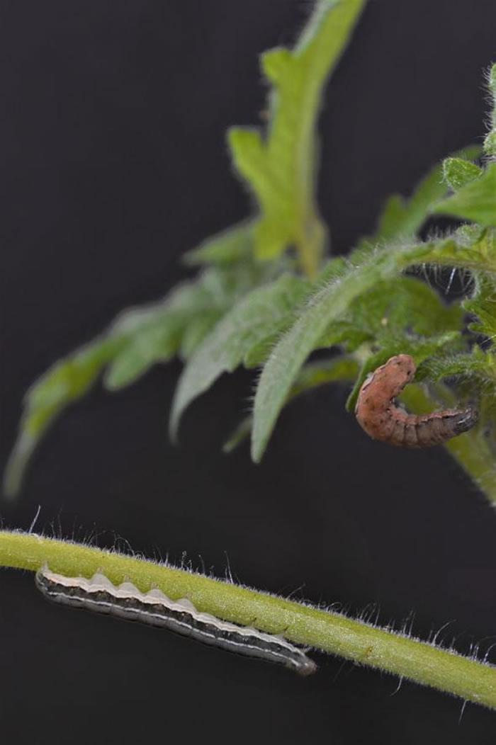 在粮食危机下,毛毛虫很快就改以同类为食。