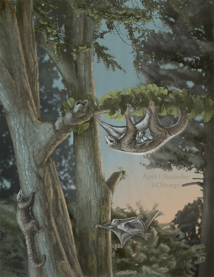 中国发现侏罗纪新型滑翔类哺乳动物化石
