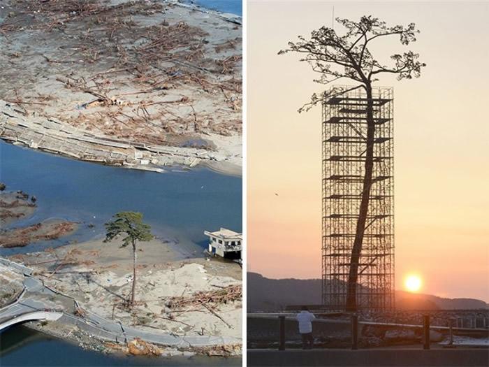 海啸中唯一未被海浪卷走的大树。