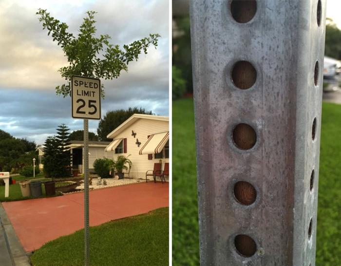 树干在铁柱内努力生长。