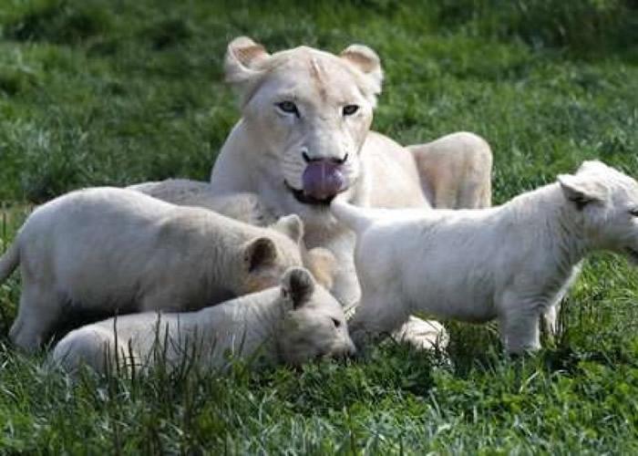 """园方总监亦大赞白狮子一家是个""""温馨家庭""""。"""