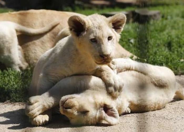 白狮已被列为濒危物种。