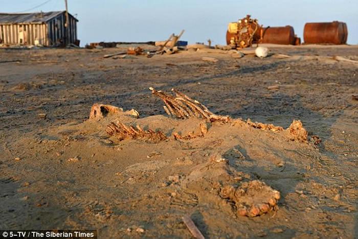 俄罗斯喀拉海的维利基茨基岛发现6具残缺不全的北极熊尸骸 疑偷猎者所为