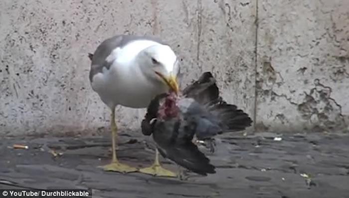 意大利首都罗马街头海鸥猎食鸽子
