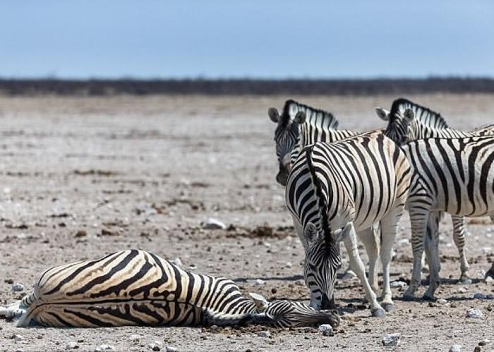 非洲国家纳米比亚国家公园雌性斑马离世 丈夫不愿离开