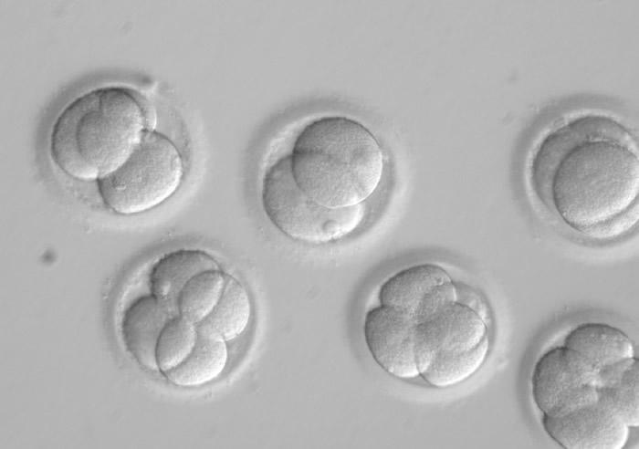 研究员利用这些早期胚胎试验。