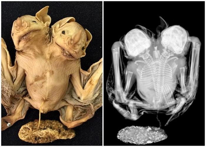 连体蝙蝠拥有2个头部,而2条脊椎骨则逐步融合。