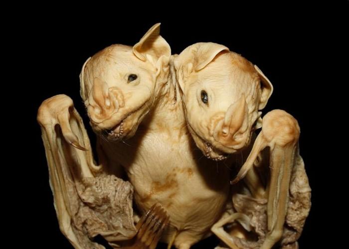 科学家希望,此研究可刺激外界研究蝙蝠胚胎学。