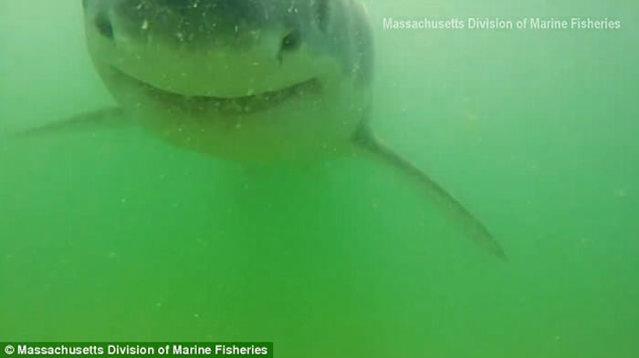 美国麻省海洋渔业生物学家摄影机放入水中 引来好奇鲨鱼游近欲吞