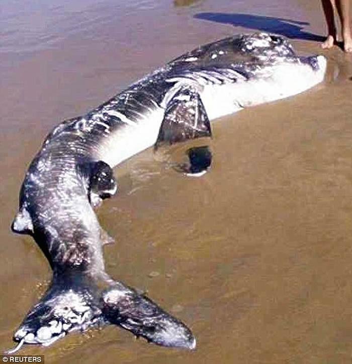 2002年4月20日南非海滩上发现的3.6米长巨口鲨