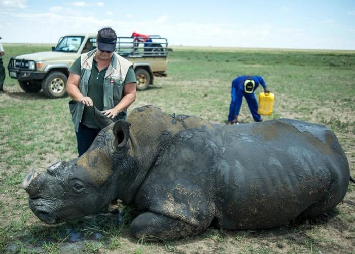 不少犀牛惨遭偷猎盗角。(资料图片)