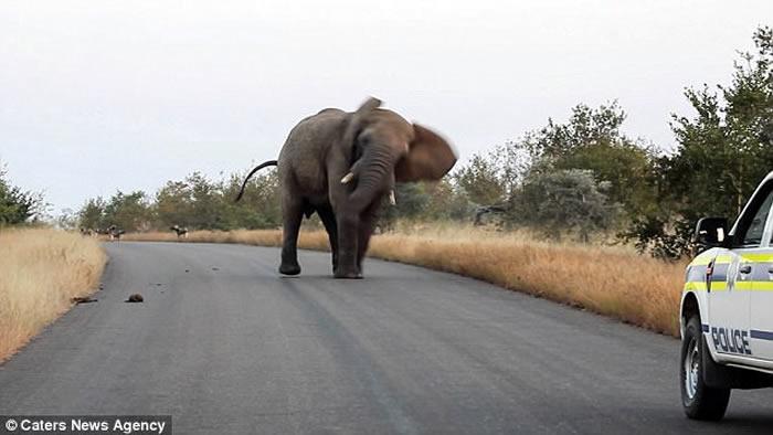 南非克鲁格国家公园大象斗野狗 在旁游客险遭殃
