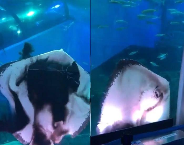 日本横滨市八景岛海岛乐园水族馆魟鱼活吞乌贼
