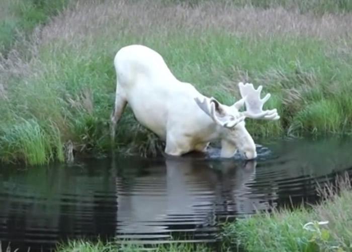 瑞典男子在韦姆兰省拍到极罕见白色驼鹿 全国只有100只