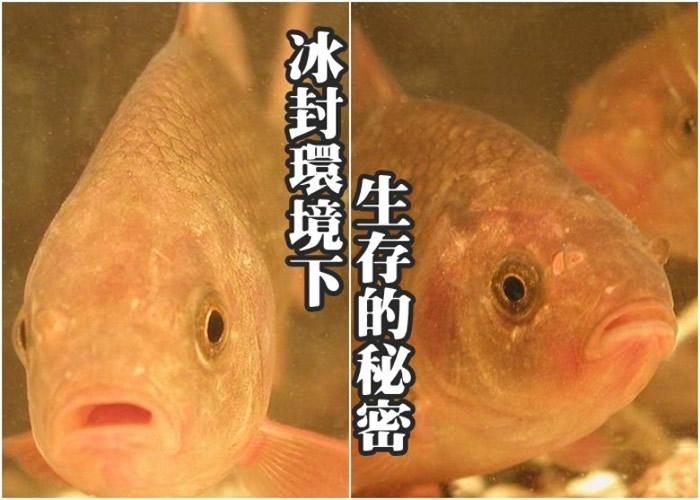 鲫鱼在缺氧时可以将乳酸转换为酒精,再将酒精经鱼鳃排到水中。