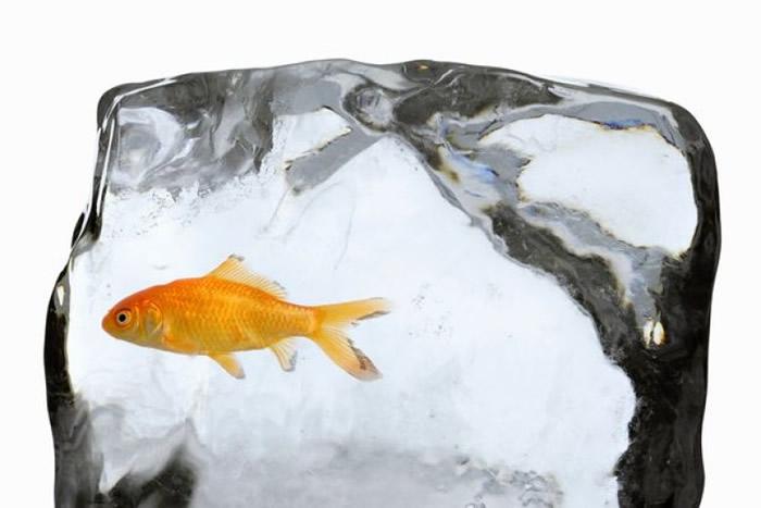 这些鱼能在北欧地区冬季冰封水面、极度缺氧的环境下存活达数月之久。