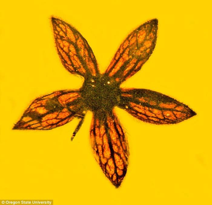 《古生物多样性》:缅甸发现封存着世界上最早花朵的琥珀 距今1亿年前