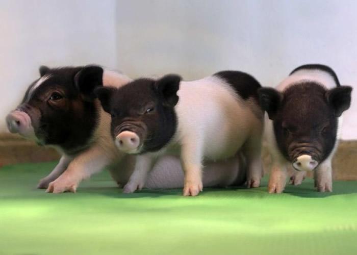 """多只""""安全""""的基因改造小猪存活。"""