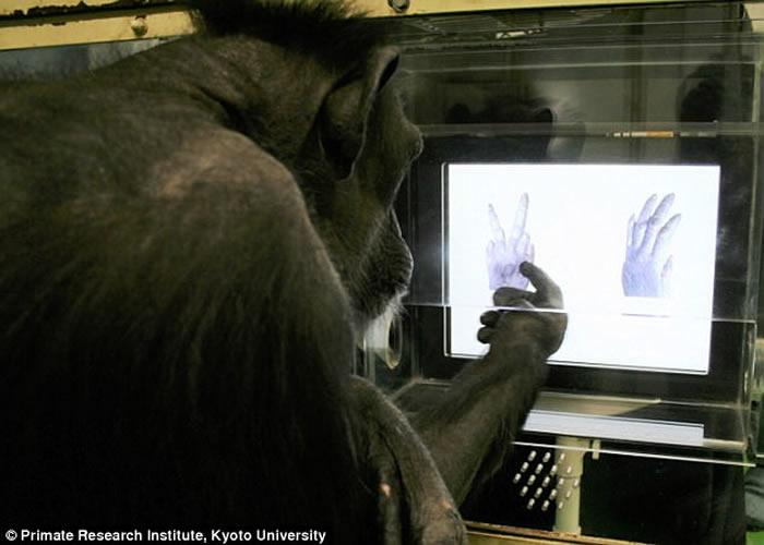 黑猩猩能学懂猜拳 理解力如同4岁小孩