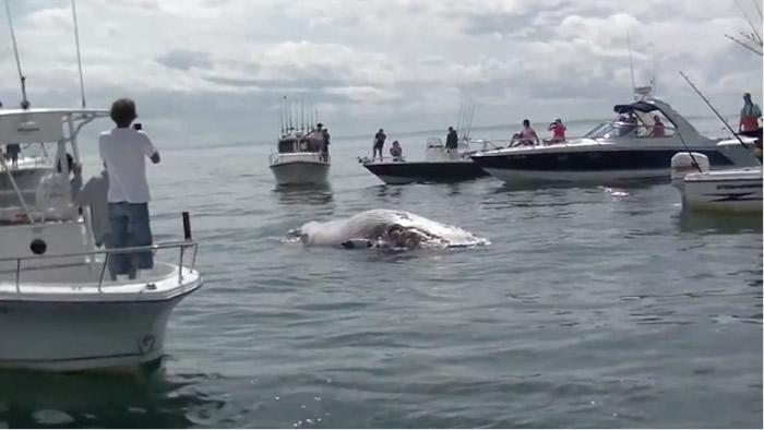 美国科德角观光客近距离直击大白鲨张口咬鲸鱼尸体