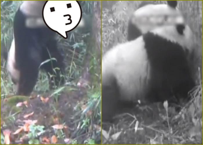 保护区拍到有大熊猫(左)在一棵杉树边小便标记地盘。