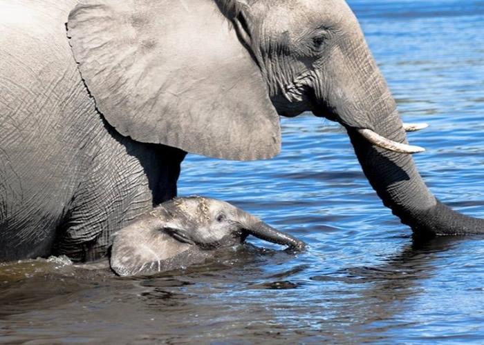 洛特的基金会致力保护野生大象。