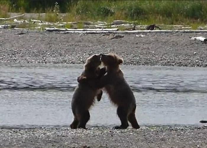 美国卡特迈国家公园和自然保护区两只幼熊岸边摔角