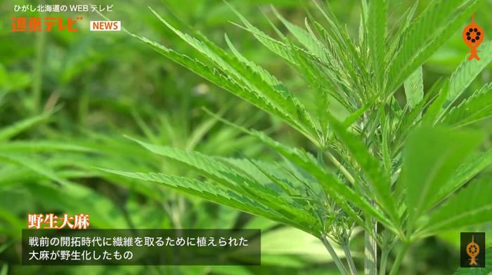 北海道野生大麻「风吹草又生」,让当地政府相当头疼。